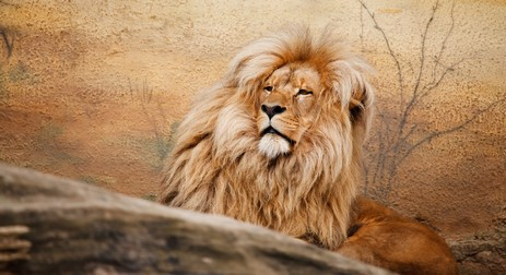 male_lion_king